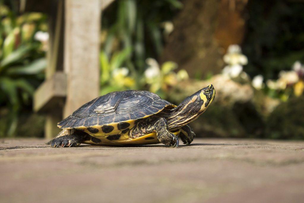 turtle-642109_1920