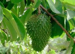 There are many benefits of Graviola; after all the soursop fruit is rich in vitamins and minerals including vitamin B1, B2, and C! Graviola contains potassium, calcium, zinc, phosphorous and magnesium.