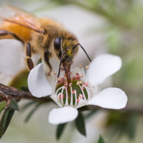 How to use Mānuka Honey with all the many benefits it offers 8